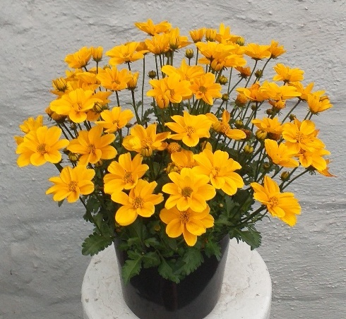 Bidens Golden Empire PBR