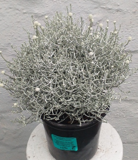 Calocephalus brownii - Cushion Bush