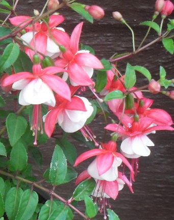 Fuchsia 'Patio Princess'
