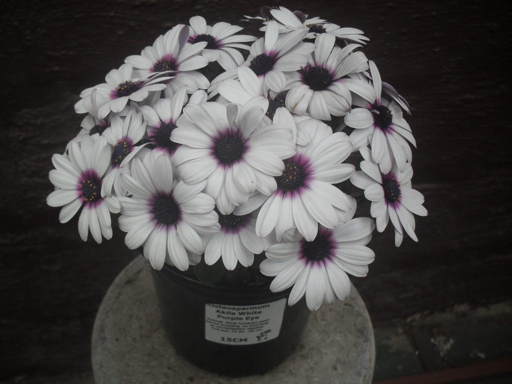 Osteospermum Akila Assorted Colours