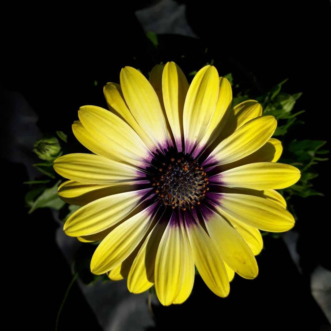 Osteospermum Serenity Blue Eyed Beauty PBR