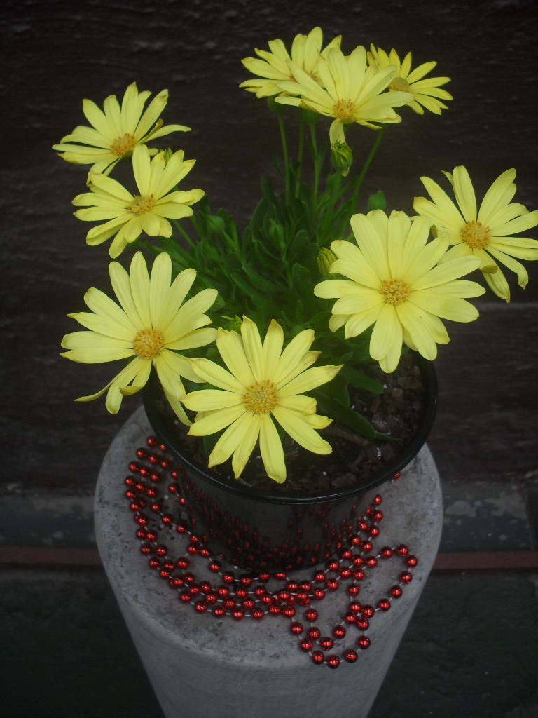 Osteospermum Voltage Yellow PBR