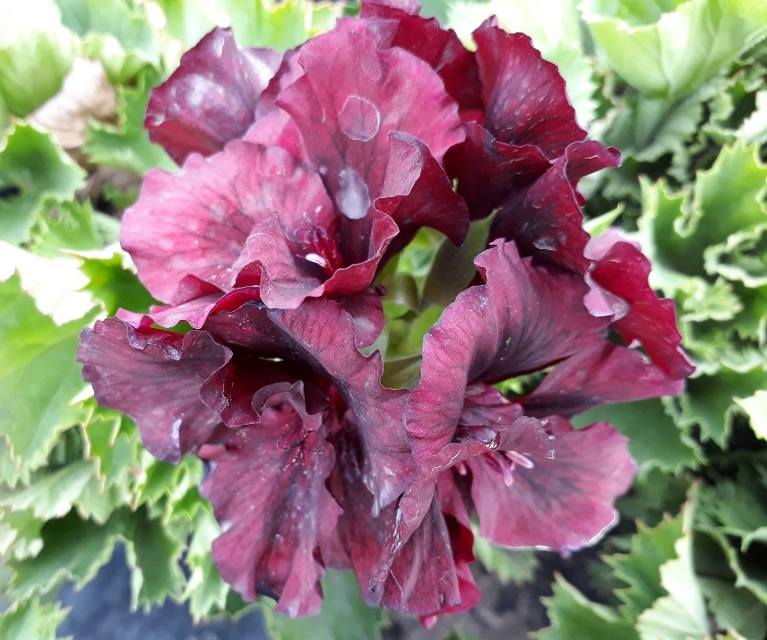 Pelargonium Regal Knight