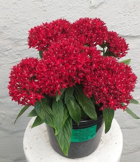 Pentas Lucky Star Red