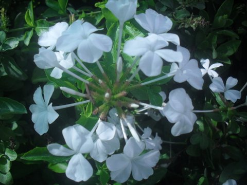 Plumbago auriculata 'Alba' - White Cape Forget-me-not
