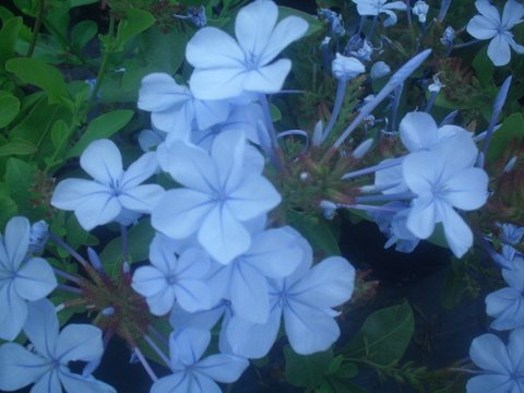 Plumbago auriculata 'Blue' - Cape Forget-me-not